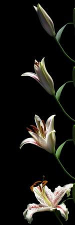 Zeitraffer-Serie von einer Lilie Blume Öffnung