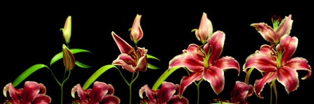 timelapse: Time-lapse series of a lily flower opening
