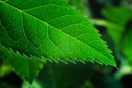 deatil: Close up deatil of rose plant leaves.