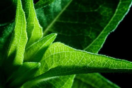 deatil: Close up deatil of zinnia flower leaves.