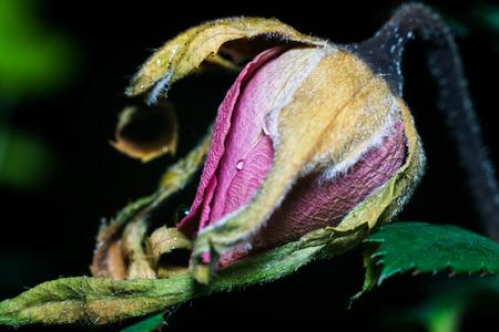 wilting: De cerca los detalles de un brote de la rosa marchita y muere.