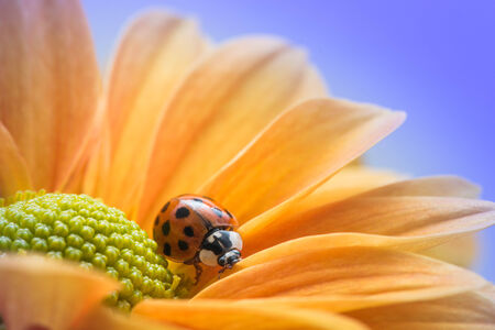 explores: A single ladybug explores a yellow daisy.