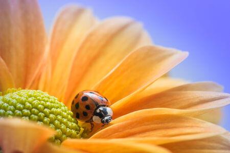 explores: A single ladybug explores a yellow daisy.