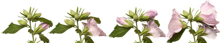 time lapse: Time lapse series of hibiscus flowers blooming. Stock Photo