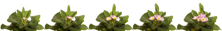 time lapse: Time lapse series of primrose flowers blooming. Stock Photo