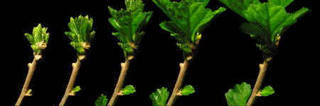 time lapse: Time lapse series of hibiscus leaves growing. Stock Photo