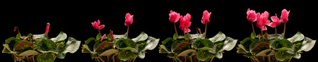 time lapse: Time lapse series of pink cyclamen flowers blooming.