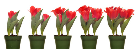 time lapse: Time lapse series of tulips blooming.