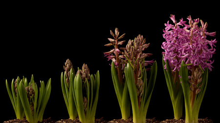 Purple Hyacinth blooming. Time lapse composite.