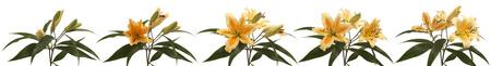 Orange blühenden Lilien. Zeitraffer Composite. Standard-Bild