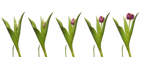 blooming  purple: Single purple tulip blooming. Time lapse composite. Stock Photo