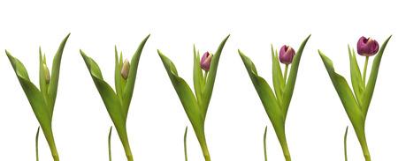 crecimiento planta: Un solo Tulipán floreciente púrpura. Tiempo compuesta lapso.