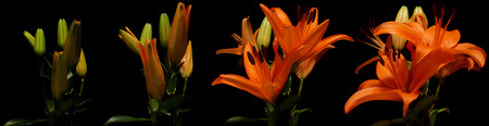 Time lapse series of orange Asiatic Lily flowers blooming.