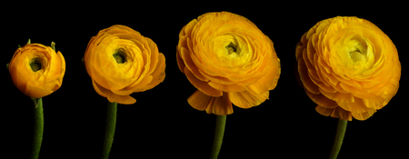 Time lapse series of a yellow Ranunculus flower blooming.