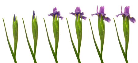 Time lapse series of a purple Iris flower blooming.