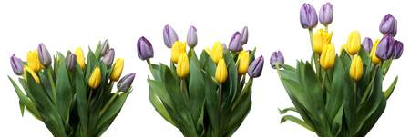 blooming  purple: Time lapse series of purple and yellow tulip flowers blooming. Stock Photo