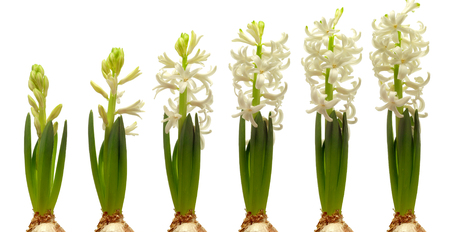 Time lapse series of white hyacinth flowers blooming. Reklamní fotografie