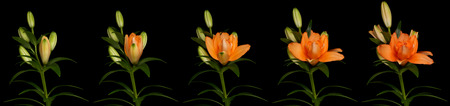 Orange lily time lapse series. Studio shot over black. Imagens