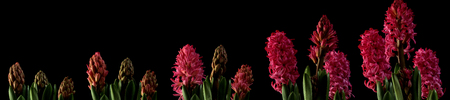 Pink hyacinth time lapse series. Studio shot over black. Reklamní fotografie