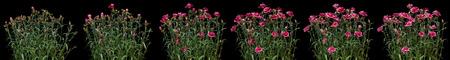 Pink carnation time lapse series. Studio shot over black. Imagens