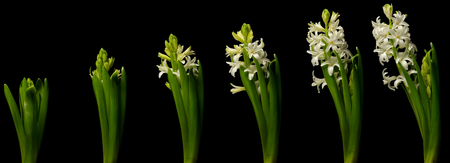 White hyacinth time lapse series. Studio shot over black. Reklamní fotografie