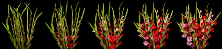 Time lapse series of red and pink Gladiolus flowers blooming. Studio shot over black. Reklamní fotografie