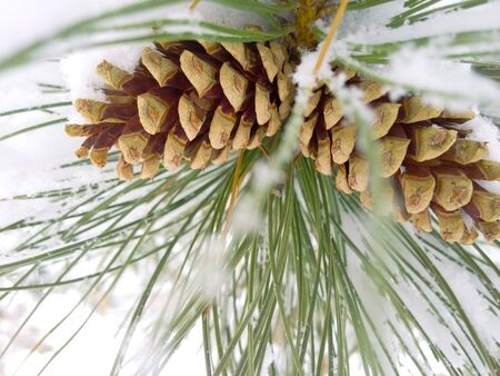 Two snow covered pinecones on an evergreen branch in winter.