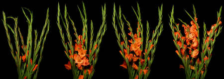 Time lapse series of orange Gladiolus flowers blooming. Studio shot over black. Reklamní fotografie