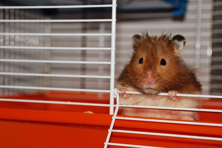 face centered: close portrait of hamster looking in your eyes