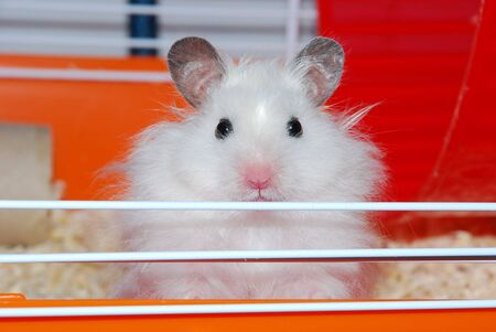 face centered: close portrait of sweet white hamster looking in your eyes