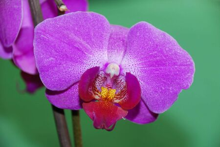 closeup of a pink phalaenopsis orchidaceae on green background