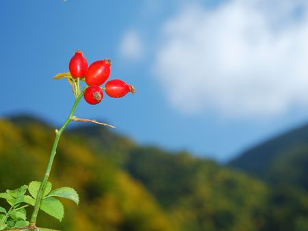 red bare hips of rosa canina  in autumn photo