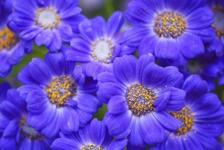 senecio: a group of opened blue Senecio Elegans flowers