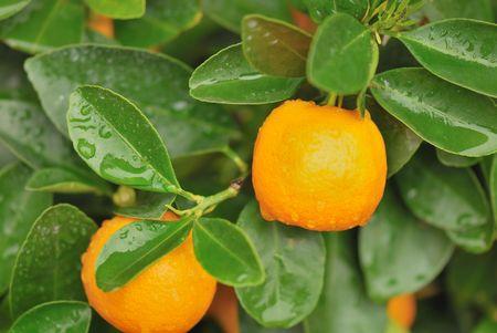 calamondin tree with some fresh orange fruits photo