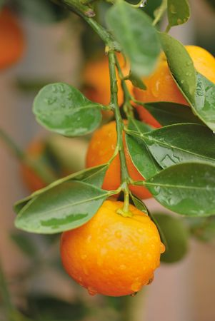 branch of calamondin tree with fresh riped orange fruits