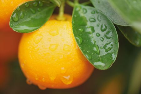 calamondin fruit int the tree right after the rain
