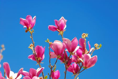 beautiful flowers of magnolia tree in spring with blue sky as background Stock Photo - 6859354