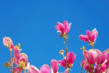 springtime with opened magnolia liliiflora flowers on the blue sky Stock Photo - 6859379