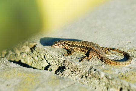 a beautiful colored wall lizard warming under the sun