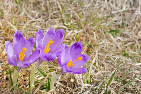 three fresh Crocus sativus flowers in spring in natural environment