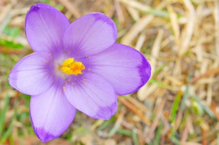 closeup view fresh Crocus sativus flower in spring in natural environment Stock Photo