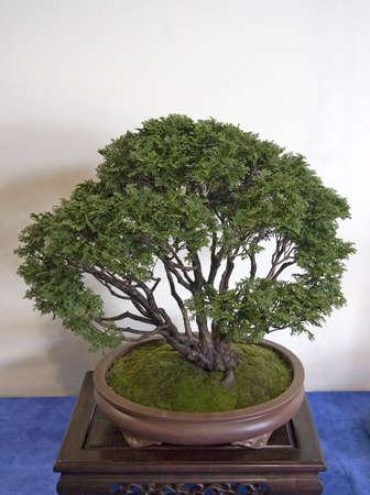 Bonsai Plant Standard-Bild