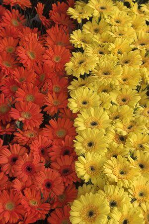 Red and Yellow Gerberahs Standard-Bild