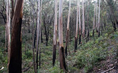 Australian gum trees in the forest