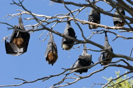 A colony of bats hanging in a tree against a blue sky