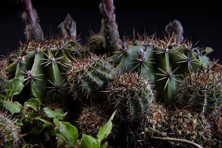 macrophotography: succulent plant macrophotography