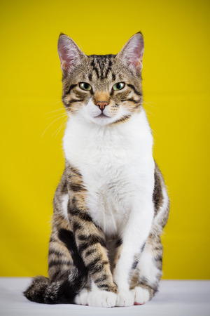 Cat sitting and looking to camera isolated on yellow background.