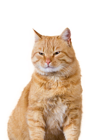 purring: Cat with evil look, expecting for something isolated on white background Stock Photo