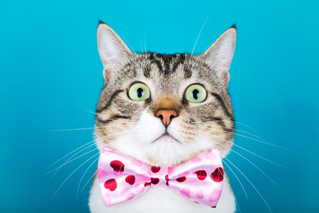Surprised Cat  with a ribbon,bow sitting and looking to camera isolated on blue background.