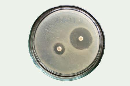 Extended spectrum beta lactamases of E coli bacteria on petri dish